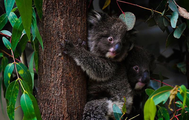 Правительство Австралии выделило 13 млн долларов на восстановление популяции коал