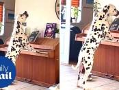 Music-loving Dalmatian3