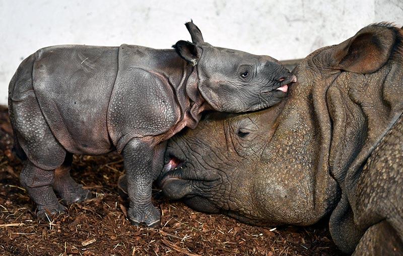 Новорожденный индийский носорог в зоопарке Вроцлава