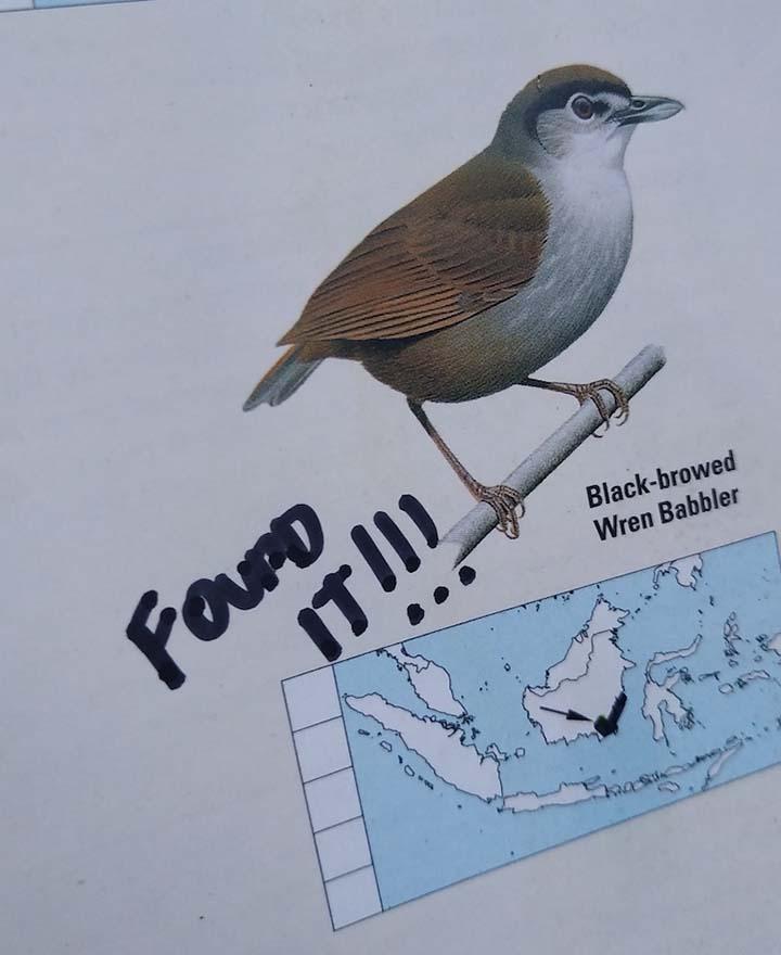 На Борнео нашли «вымершего» чернобрового болтуна