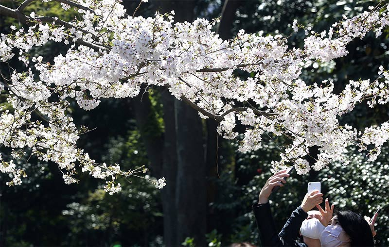 В Японию пришла весна - цветет сакура
