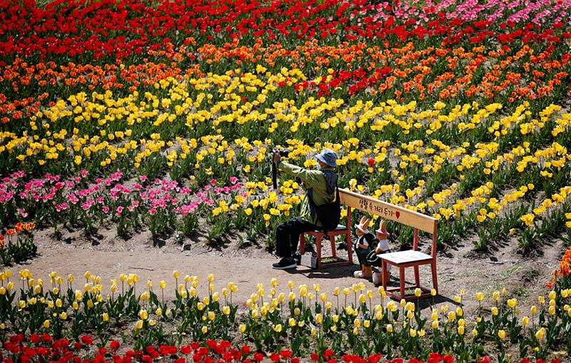 В Корее зацвели тюльпаны
