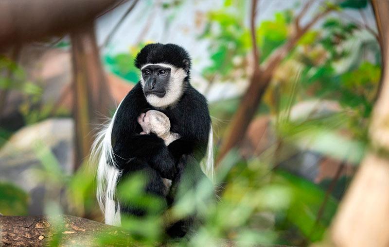 Восточный колобус в венгерском зоопарке - у меня почему такое грустное лицо - т.к. я не читаю сайт позитива