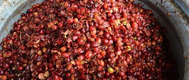 Кофейные отходы помогут восстановить тропические леса