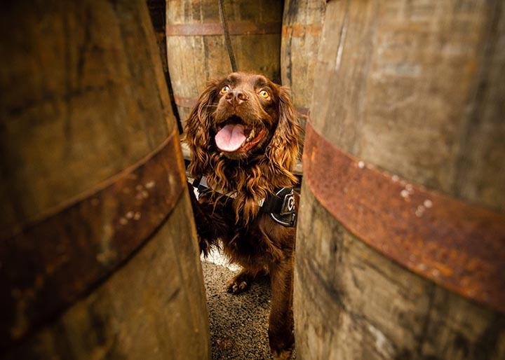 Dog whisky sniffer03