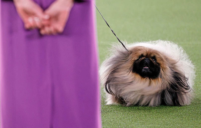 Победитель старейшей выставки собак