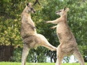 two-plucky-wallabies