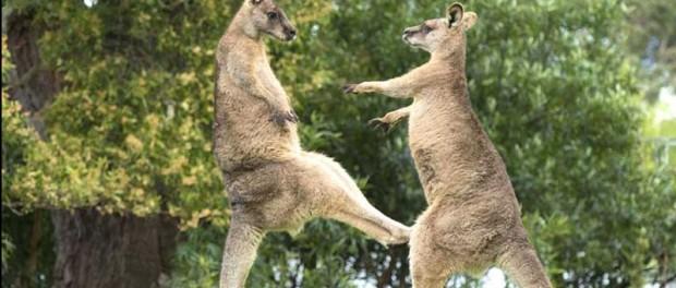 Два кенгуру устроили бойцовский клуб во дворе австралийца