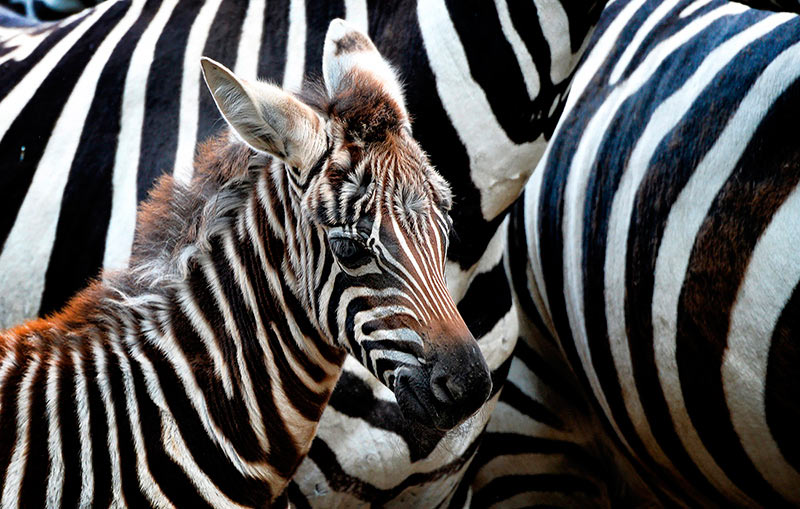 Жизненная полоса в зоопарке чешского Либереца