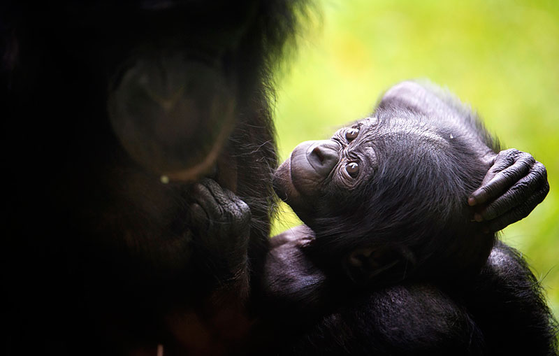 Познание мира - детеныш шимпанзе