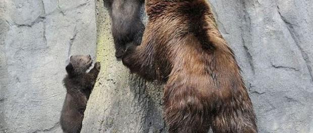 Смешное видео медвицы и ее непослушного сына