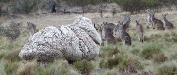 Австралийцы постригли самого «шерстяного» барана
