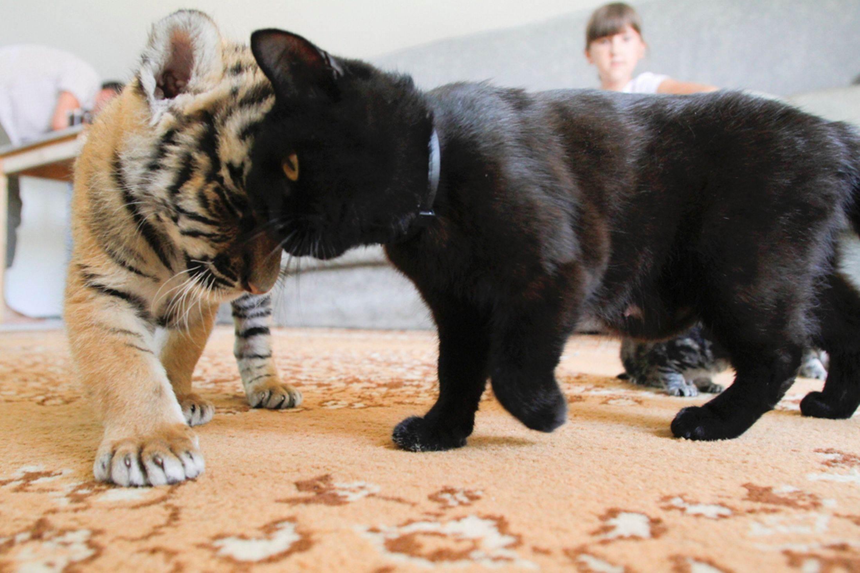 тут тигр с котенком картинка знаю