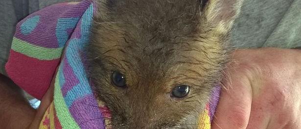 Арахисовое масло загнало в ловушку лисицу
