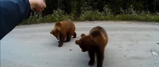 Медведи-попрошайки оккупировали карельские трассы