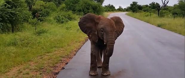 Недовольный слоненок порадовал туристов в ЮАР