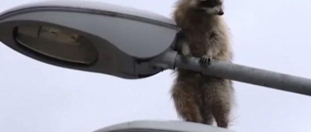Курьезный побег енота от российских спасателей