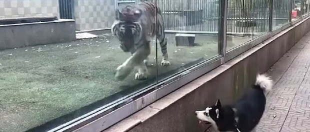 Тигр и хаски устроили в зоопарке забавные побегушки