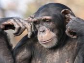 Chimpanzee with fingers in it's ears.