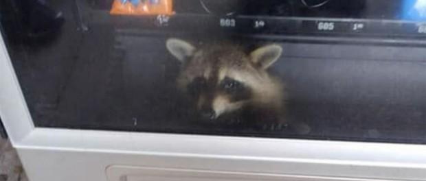 raccoon vending machine2