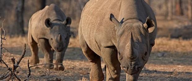 Черные носороги подрались на камеру в Намибии