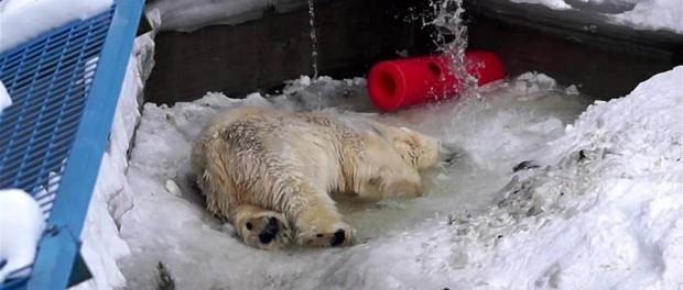 Белый медведь в зоопарке в кайфе от включения воды