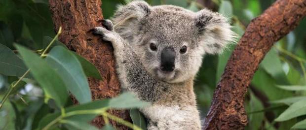 Австралийские ученые рассекретили главную тайну коал