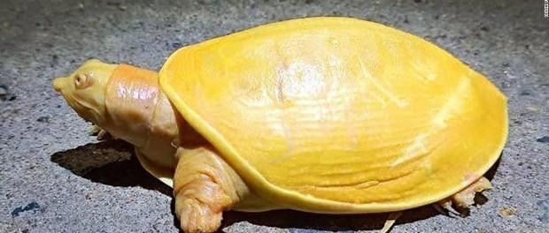 В Индии отыскали уникальную черепаху