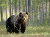 bear-escapes-again-2