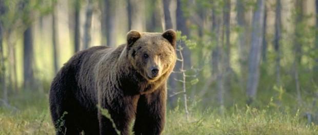 Медведь Папийон опять сбежал из питомника