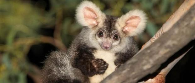 Австралийцы нашли новые виды сумчатых