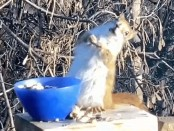 Squirrel gets DRUNK eating fermented pears