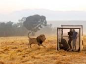 human cage lion2