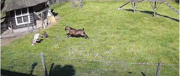 В Нидерландах козел с петухом отбили курицу у ястреба